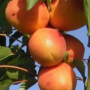 sadnica kajsije roxana
