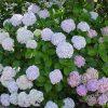 hortenzija sadnica