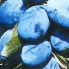 sadnica šljive stenley
