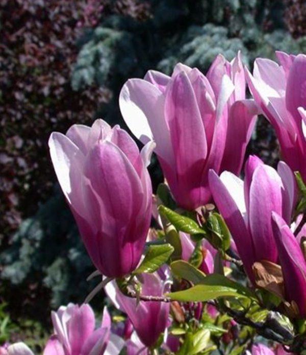 magnolija