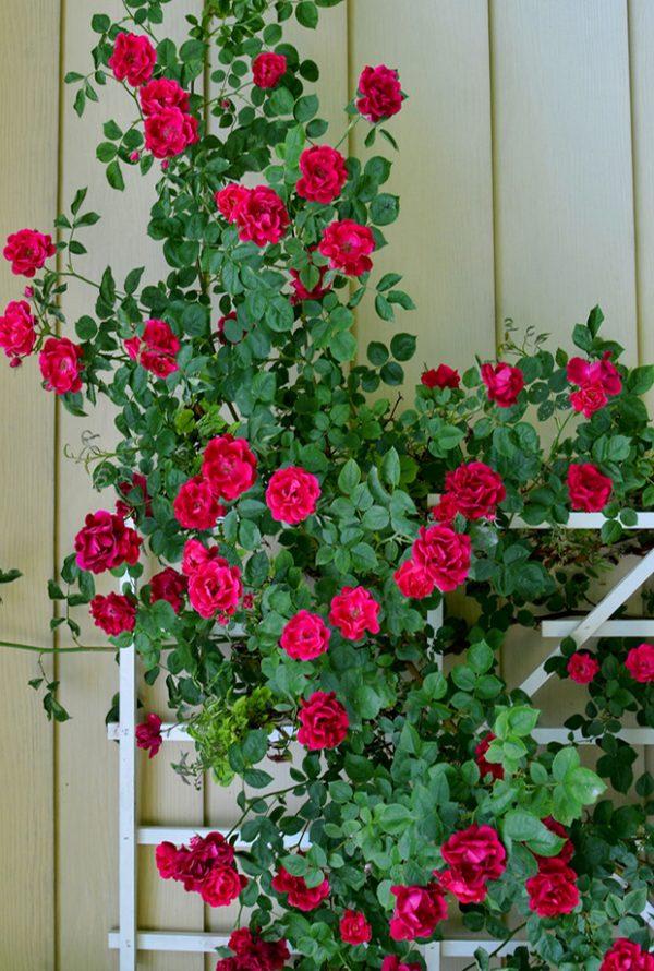 ruže penjačice Passiflora